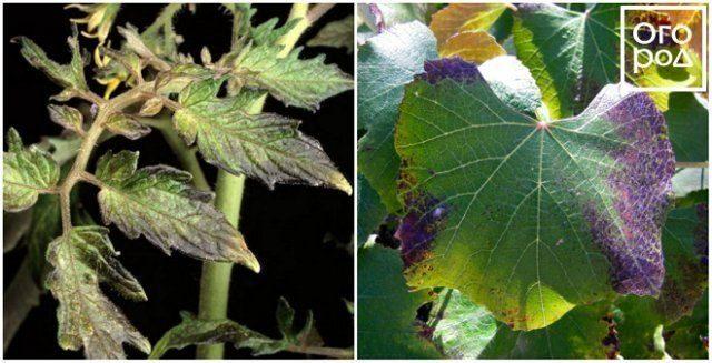 По фото видно, что растения нуждаются в подкормке фосфором, признак его нехватки — фиолетовые листья